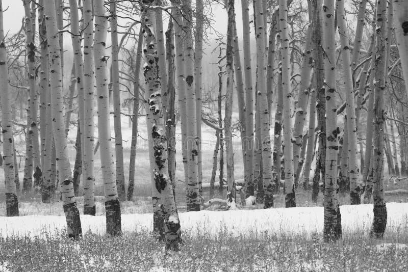 亚斯本树丛在冬天,海斯廷斯Mesa科罗拉多 免版税库存照片