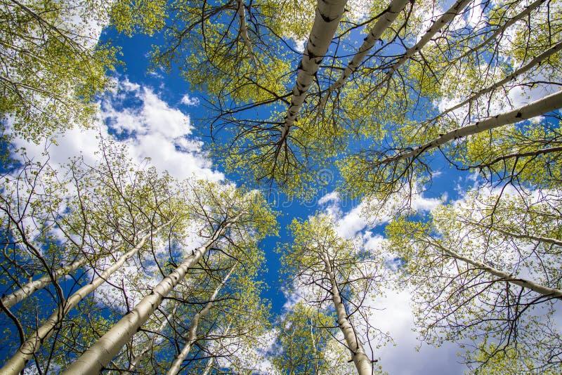 亚斯本树和云彩 图库摄影