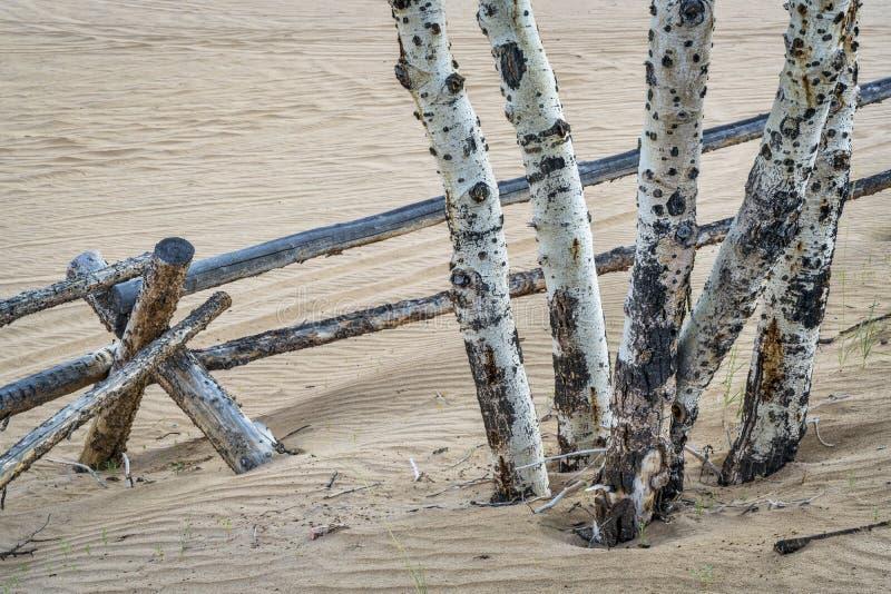 亚斯本树和篱芭 库存图片