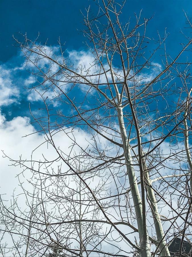 亚斯本树在反对蓝色多云天空的冬天 库存图片