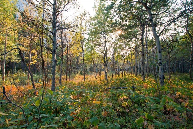 亚斯本树树丛在swiftcurrent足迹的阳光下在冰川国家公园的许多冰川区域在蒙大拿美国 图库摄影