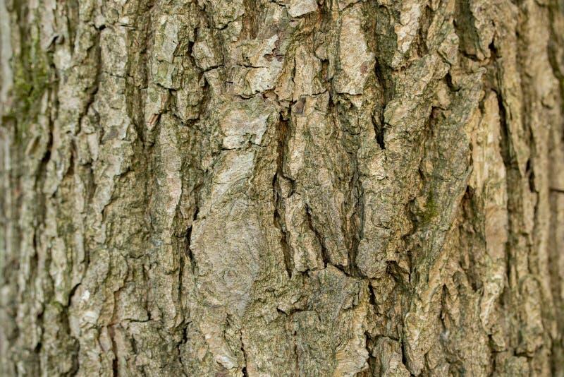 亚斯本树皮灰,纹理背景特写镜头 与许多犁沟的布朗老树皮 免版税图库摄影