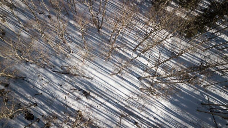亚斯本树阴影寄生虫照片在多雪的科罗拉多,美国 免版税库存图片