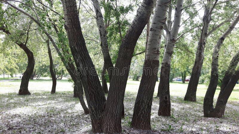 亚斯本树,三角叶杨 库存图片
