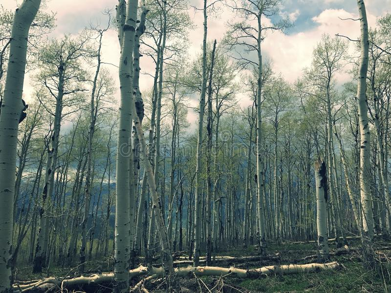 亚斯本森林 免版税库存图片