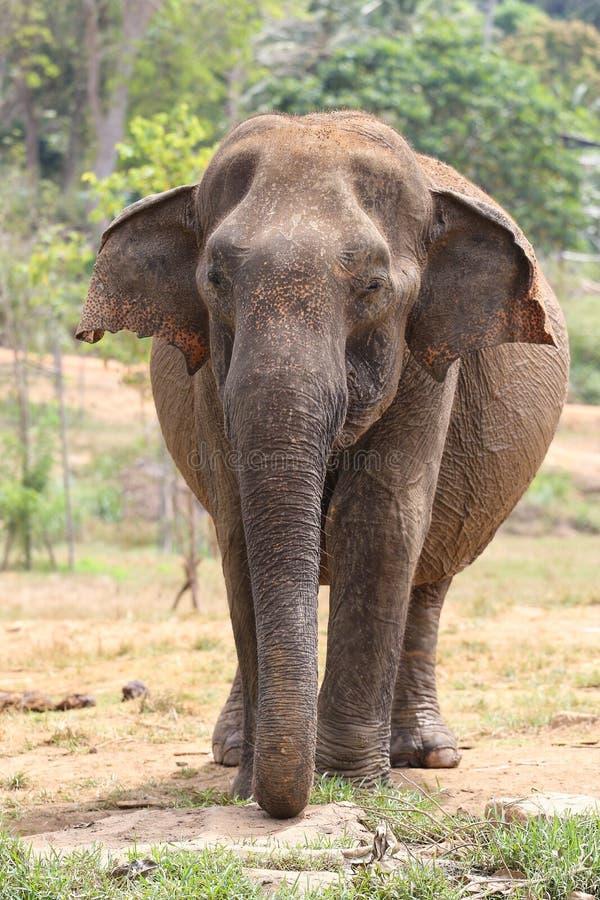 亚洲大象亚洲象属maximus在Pinnawala孤儿院 免版税库存图片