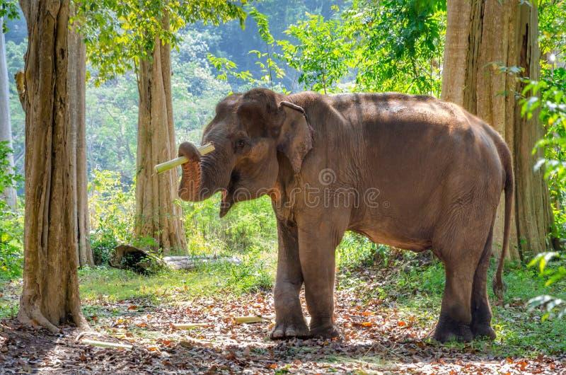 亚洲大象在泰国森林里 免版税库存照片
