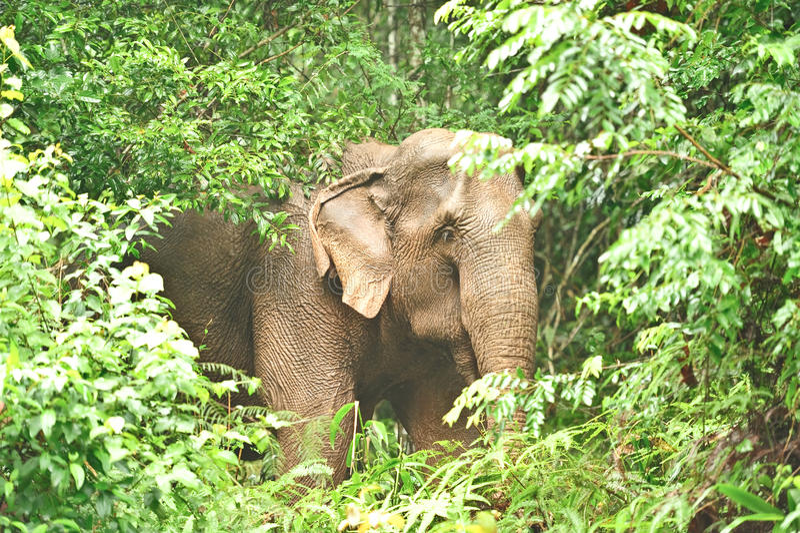 亚洲大象泰国 库存照片