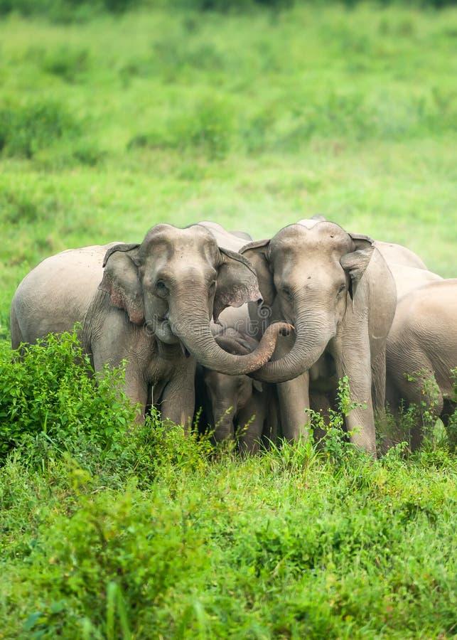 亚洲大象牧群防护地是在久井Buri国立公园,泰国的领域的一头新出生的大象小牛 免版税图库摄影