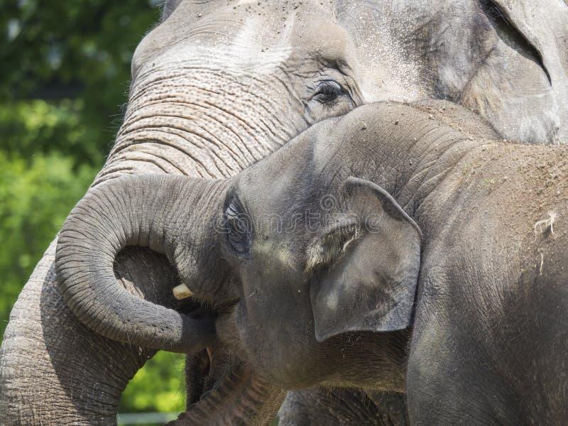 亚洲大象,亚洲象属maximus家庭接近的画象  的母亲和拥抱她小的小的小牛 亚洲大象 免版税库存照片