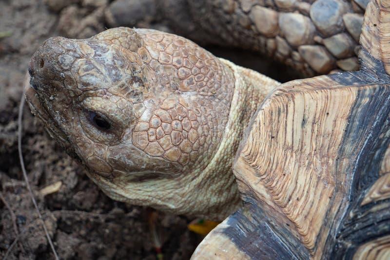 亚洲巨型草龟特写镜头  免版税库存照片