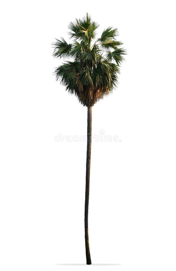 亚洲扇叶树头榈棕榈、棕榈汁、桄榔或者在白色backgr隔绝的柬埔寨棕榈 图库摄影