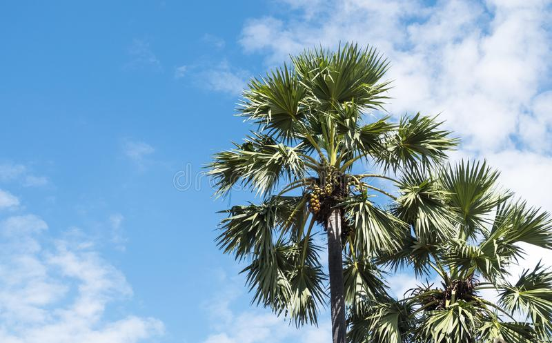 亚洲扇叶树头榈棕榈 库存照片