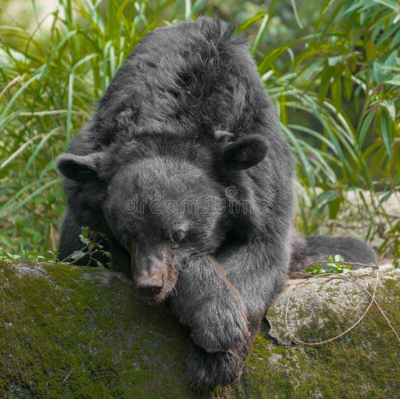 亚洲月亮黑熊熊属类thibetanus 免版税库存照片