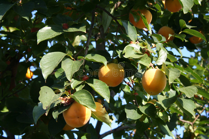 亚洲柿树结构树 库存图片