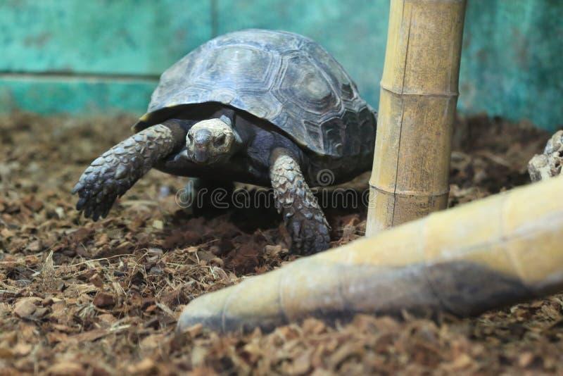 亚洲森林草龟 库存图片