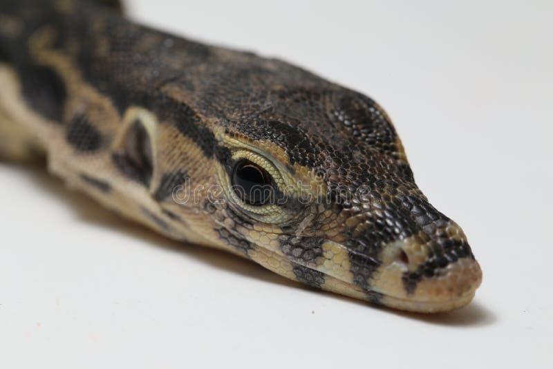 亚洲水监控器蜥蜴或巨晰属salvator 免版税库存图片
