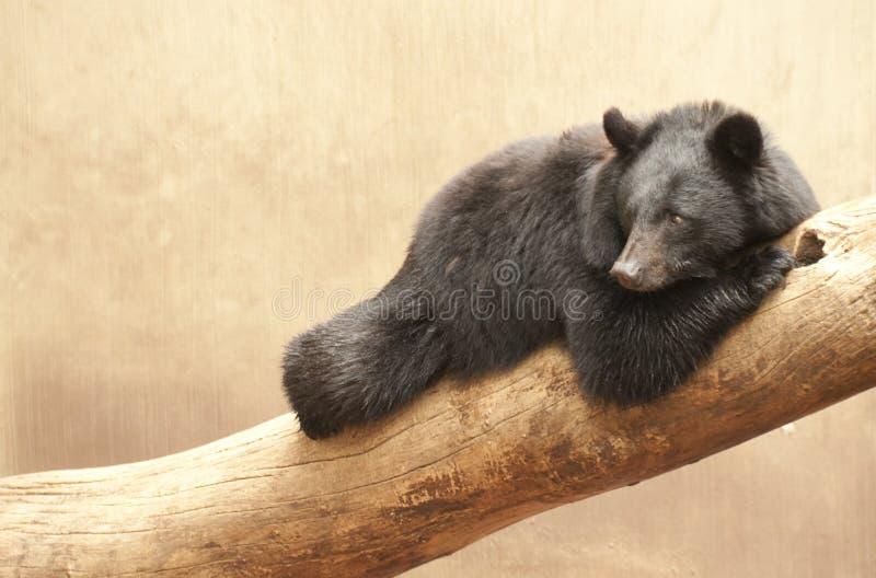 亚洲熊黑色 免版税库存图片