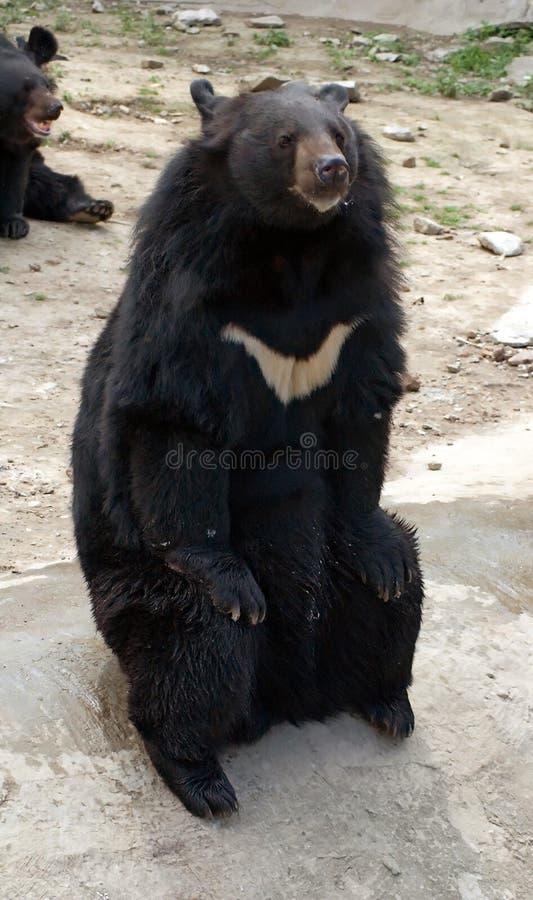 亚洲熊黑色 图库摄影
