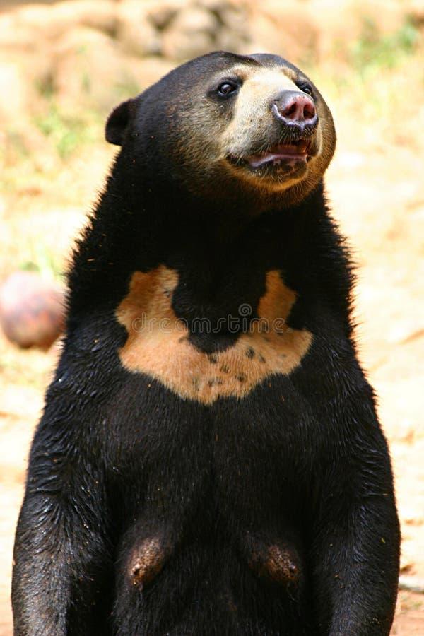 亚洲熊 免版税库存图片