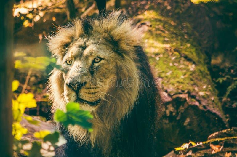 亚洲狮子豹属利奥persica 免版税库存照片