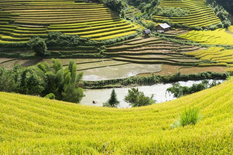 亚洲米领域通过收获季节在Mu Cang柴区,安沛市,越南 露台的稻田在米, wh广泛使用 免版税库存照片