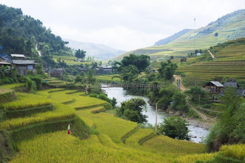 亚洲米领域通过收获季节在Mu Cang柴区,安沛市,越南 露台的稻田在米, wh广泛使用 免版税库存图片