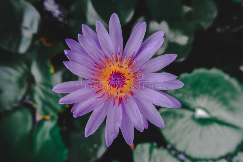 亚洲紫色莲花开花在池塘 库存图片