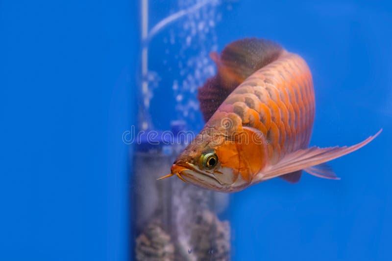 亚洲红色arowana鱼游泳 免版税库存图片