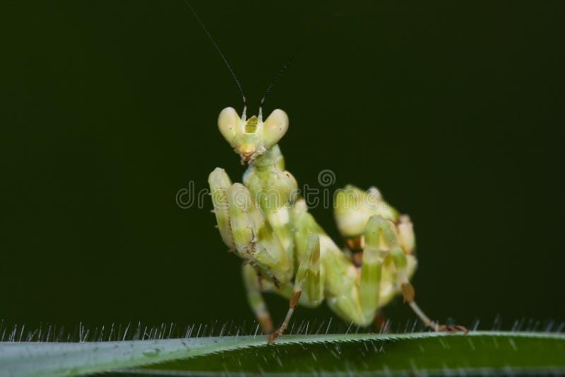 亚洲花螳螂 库存图片