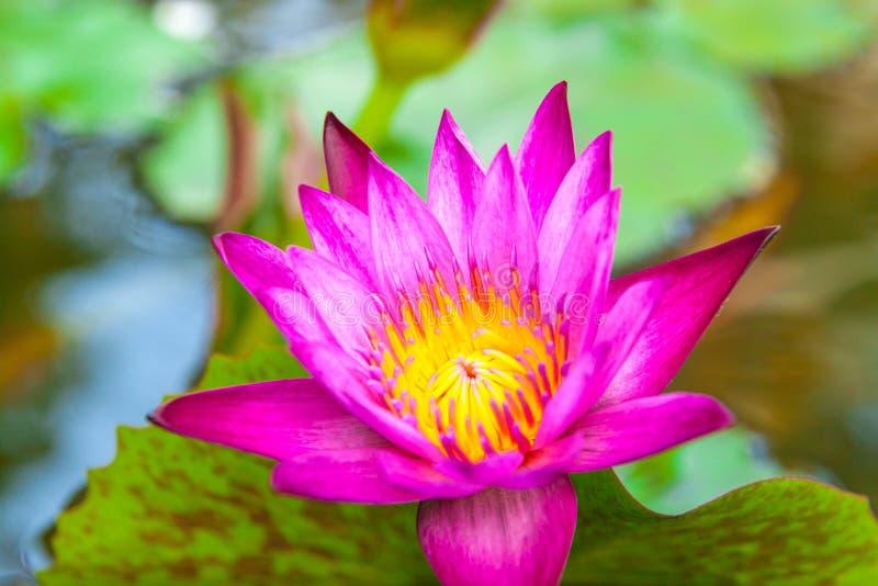 亚洲莲花关闭 莲花花在日本池塘 库存照片