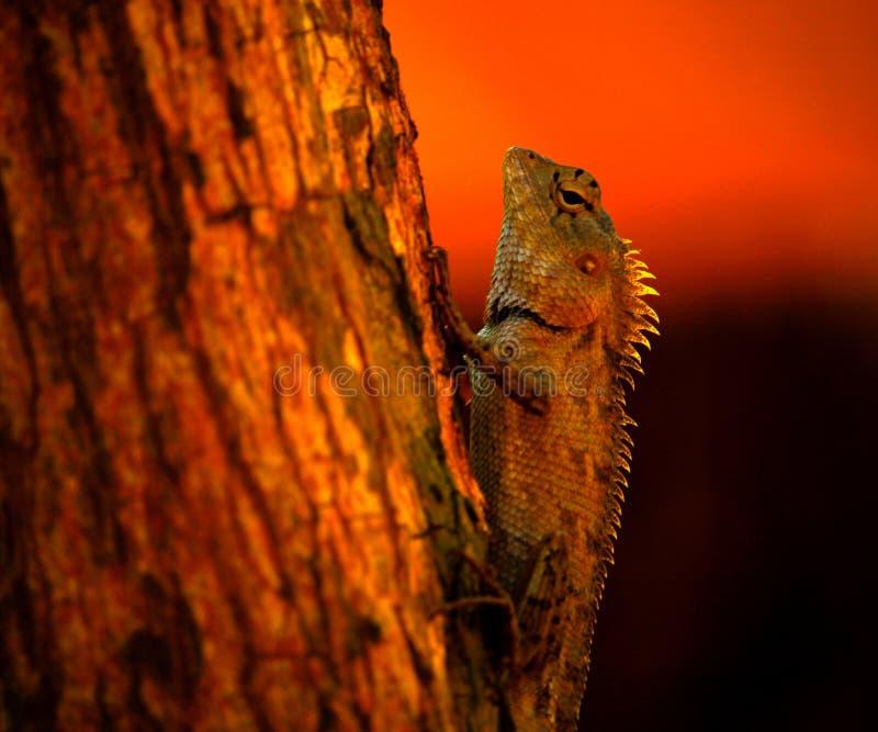 亚洲蜥蜴在晚上 免版税库存照片