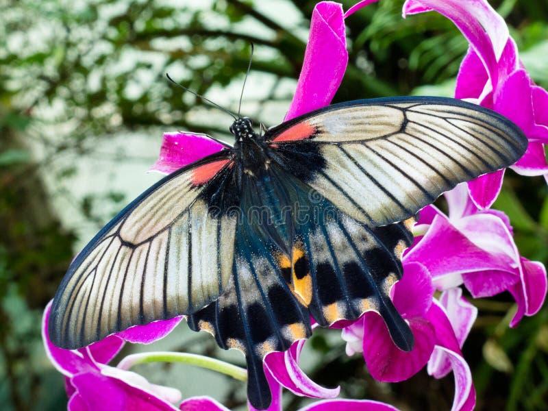 亚洲蝴蝶花蜜吮的swallowtail回归线 库存照片
