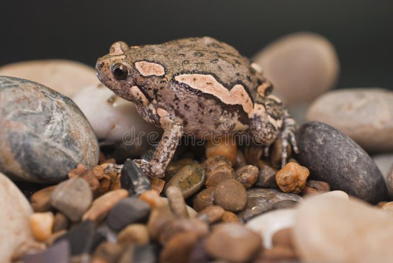 亚洲被绘的青蛙 免版税库存照片