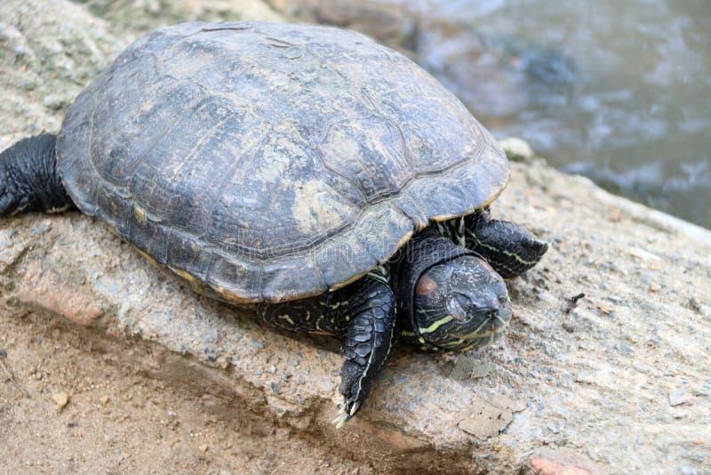亚洲龟盒这是一只动作缓慢爬行动物,附寄在鳞状或似皮革半球形的壳入哪些 图库摄影