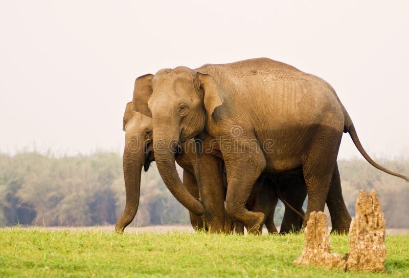 亚洲elephnats 免版税库存照片