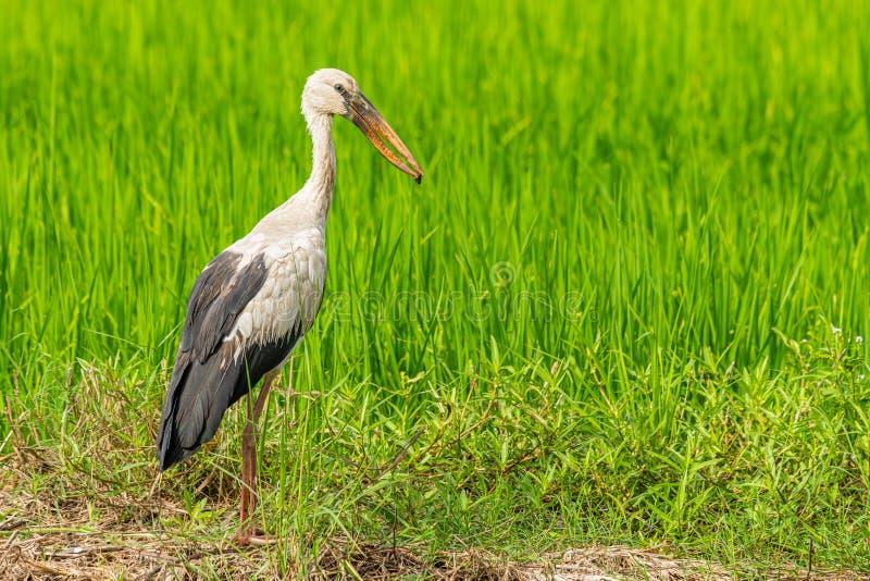 亚洲openbill鹳和河蜗牛在它的票据与绿色稻田在背景中 库存照片
