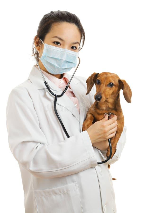 亚裔兽医 库存图片