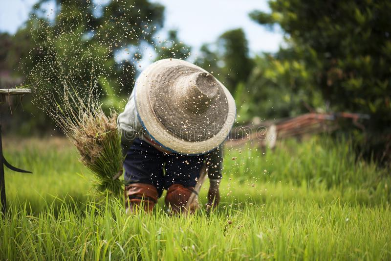 亚裔农夫撤出幼木种植在它是生活方式在乡下的雨季的米 免版税库存照片