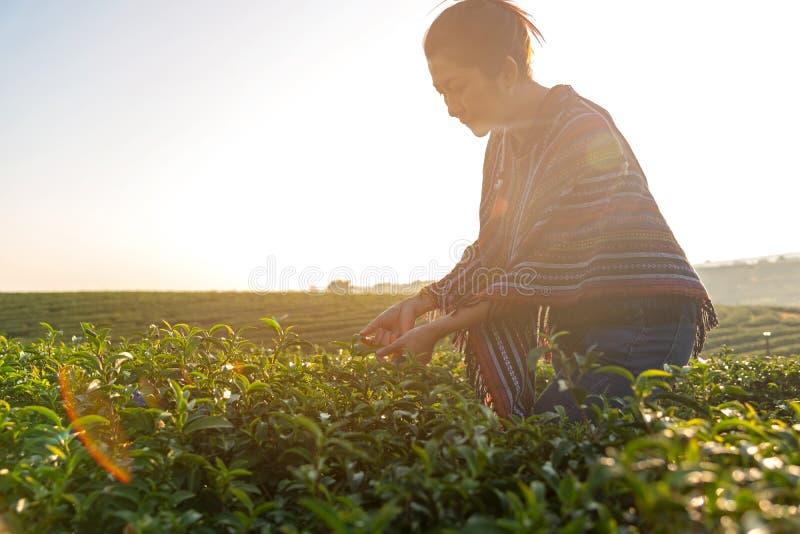 亚裔工作者农夫妇女采摘传统的茶叶日出早晨在茶园自然 库存照片