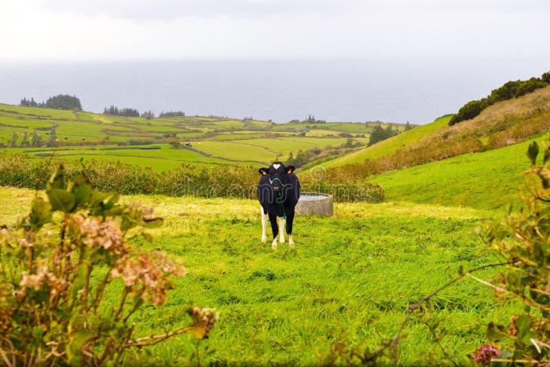 亚速尔美好的乡下视图,黑白乳状母牛,风景农村风景,牛,旅行葡萄牙 免版税库存图片