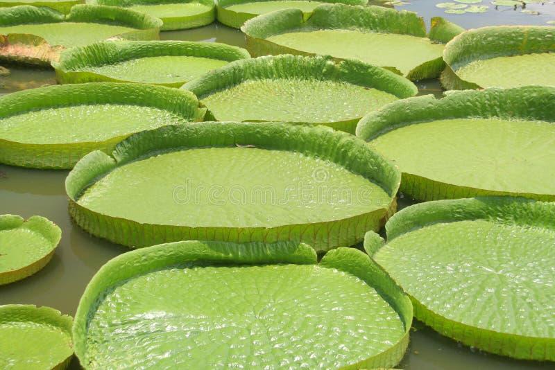 亚马逊亚洲睡莲叶 库存照片