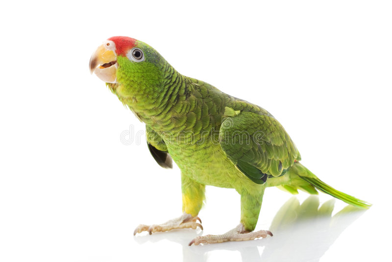 亚马逊朝向墨西哥鹦鹉红色 图库摄影
