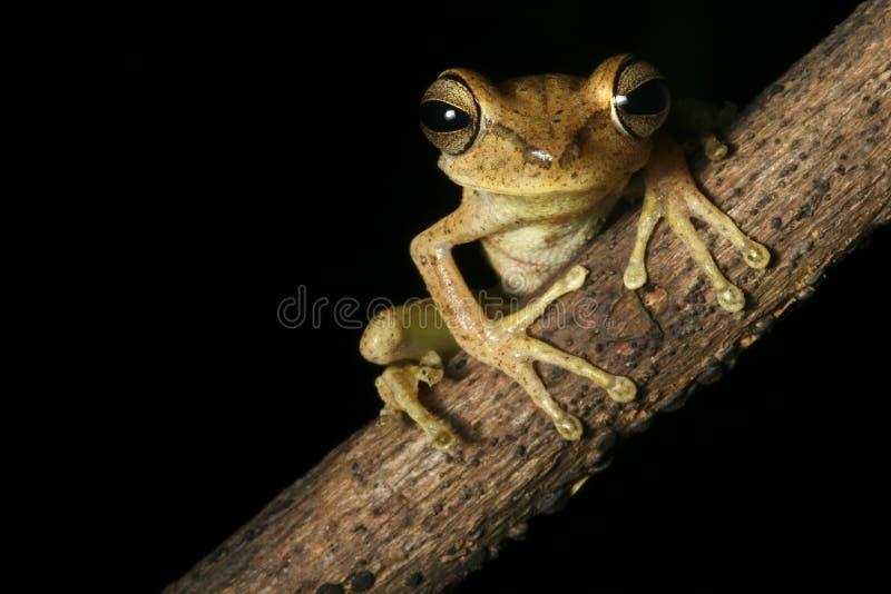 亚马逊森林青蛙晚上热带的雨豆树 库存照片