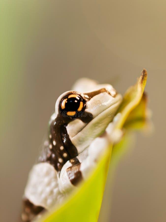 亚马逊牛奶雨蛙选址在叶子的- Trachycephalus resinifictrix画象  库存图片