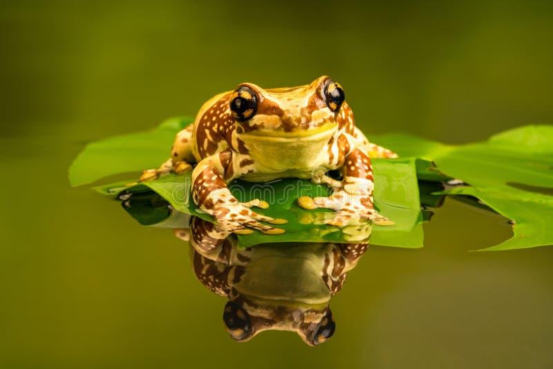 亚马逊牛奶青蛙Trachycephalus resinifictrix 反射在水中 免版税库存图片