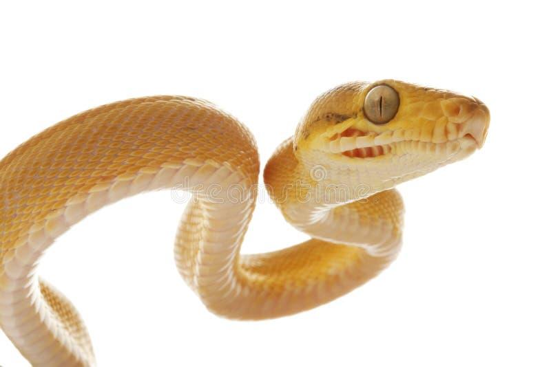 亚马逊蟒蛇结构树 免版税库存图片