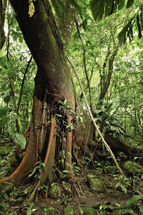 亚马逊详细资料森林密林热带的雨豆&# 库存图片