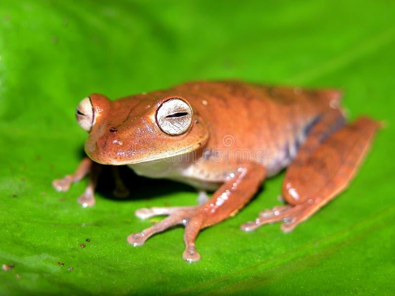 亚马逊青蛙结构树 库存照片