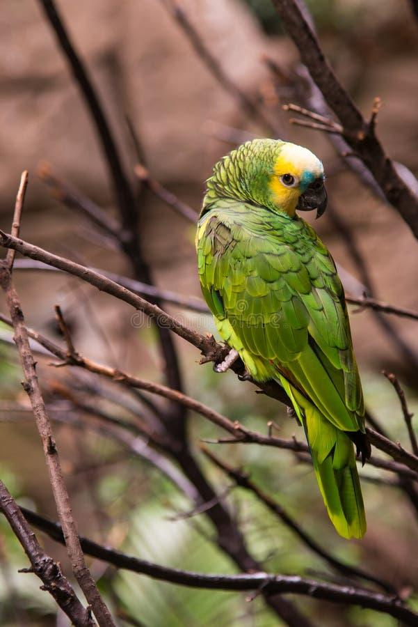 亚马逊鹦鹉 免版税图库摄影